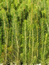 Plantskola Voxna Plantor, Skogsindustrierna.jpg